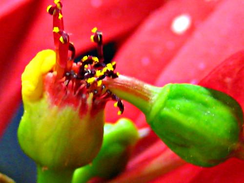 Poinsettia stamen