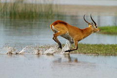Bing bing bing .... (Wild Dogger) Tags: africa travel nature animals canon tiere moving action wildlife urlaub ngc natur adventure safari afrika botswana bovidae mammals 2010 herbivore sugetier abenteuer 600mm pflanzenfresser redlechwe 2xtc linyanti kwando specanimal kobusleche inmovimento lebala canoneos7d naturethroughthelens touraroundtheworld thomasretterath canonef300lis28usm letchweantilope litschianitlope bestofblinkwinners artistoftheyearlevel3 photographyforrecreationeliteclub artistoftheyearlevel4 blinksuperstars artistoftheyearlevel5 photographyforrecreationclassic