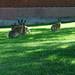 Dansande harar /Dancing rabbits 4