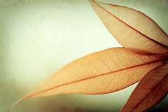 Grace. (CarolynsHope) Tags: orange color detail green texture colors leaves leaf colorful curves grace veins elegant tones graceful elegance borealnz carolynshope