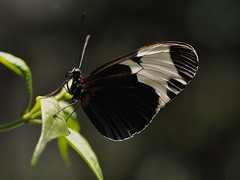 Sapho Longwing species butterfly... December 2010 (toryporter (back... never catching up!)) Tags: light red blackandwhite newyork black macro green nature fauna butterfly insect flora colorful bokeh lepidoptera proboscis 2010 americanmuseumofnaturalhistory butterflyconservatory potofgold coth supershot heliconiussapho sapholongwing abigfave anawesomeshot nikond90 rubyphotographer coth5 toryporter damnblog cothblog