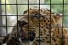 Jama! (jemaha) Tags: sandiego zookeeper sandiegozoo chineseleopard endangeredbigcats