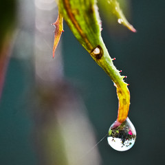 My garden in a drop. [FP] (Laureos) Tags: macro reflection colors rose canon garden dof close bokeh drop 100mm dewdrop reflet dew refraction canon100mmmacro macrophotogaphie lpportpaysages