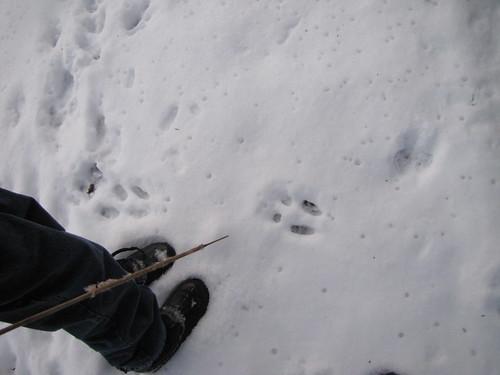 squirrel tracks