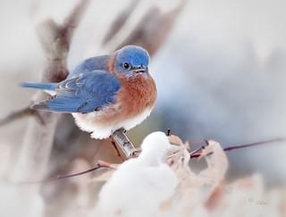 Eastern Bluebird (Sialia sislis)