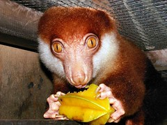 Spilocuscus rufoniger (Mangiwau) Tags: new possum brown west tree cute coast guinea furry play little eating things coastal northern papua creatures creature marsupial marsupials jackfruit possums blackspotted starfruit cuscus spilocuscus rufoniger