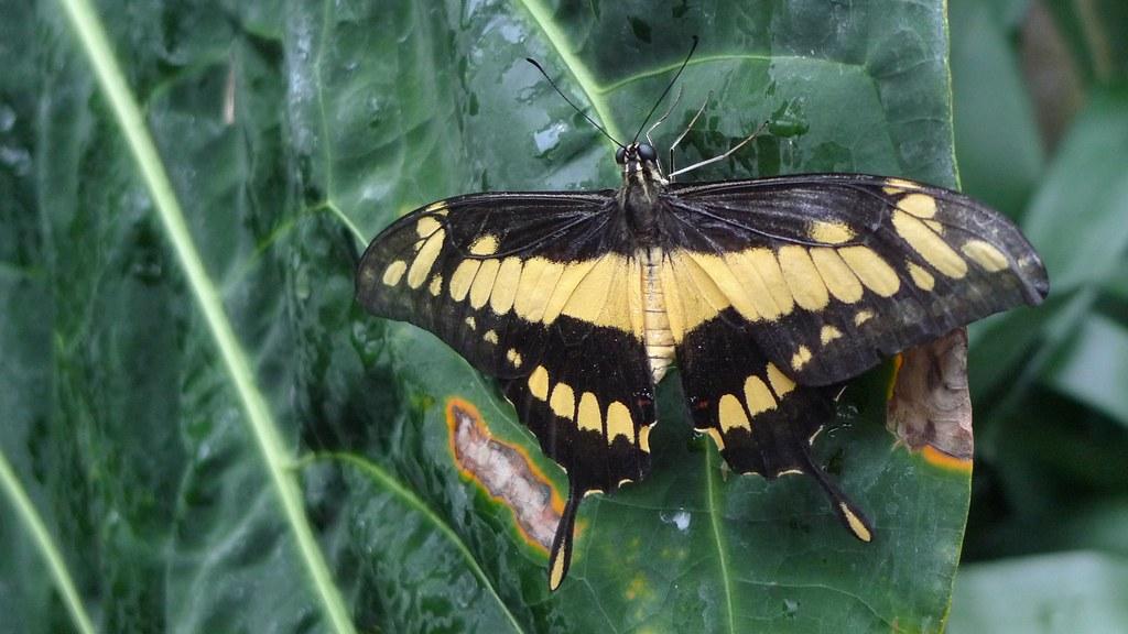 King Swallowtail