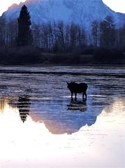 A moose in pre-winter feeding mode (RyanManuel) Tags: mountains sunrise rockies wyoming grandteton wy grandtetonnationalpark