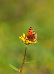 azuré (aziouezmazouz) Tags: butterfly focus colours bokeh beautifulscenery bellissima naturesfinest vibrantcolours