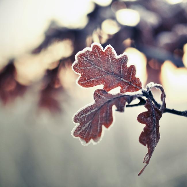 frostnupna eklöv