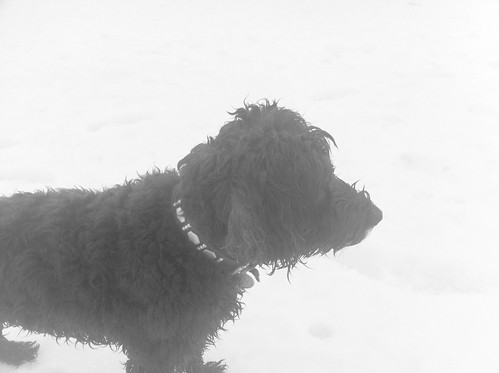 Black Dog in Whiteout