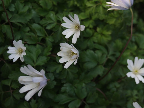 ANEMONE apennina var. albiflora