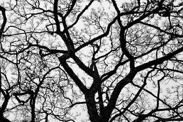 20110121_#08 Svartvitt träd