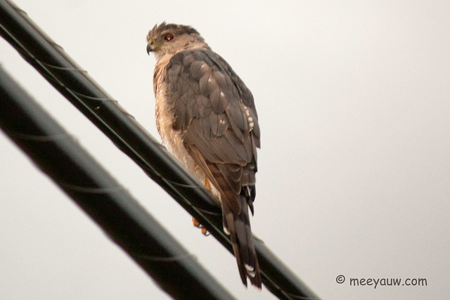 Juvenile Red-tailed Hawk  28.jpg