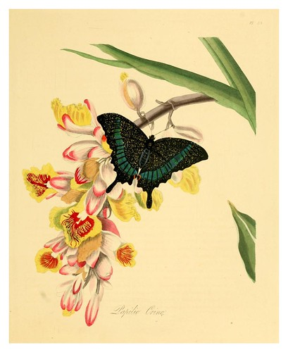 004-Papilio Crino-Natural history of the insects of China…1842- Edward Donovan