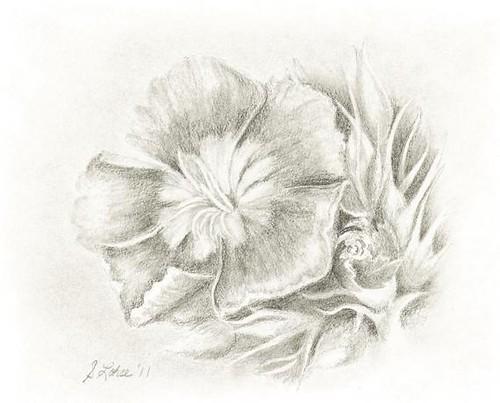 Dianthus, graphite