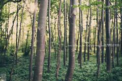 the secrets of nature (Maegondo) Tags: wood trees sunset sun sunlight tree green nature field grass backlight canon germany cherry bayern deutschland bavaria haze dof forrest bokeh 14 sigma dreamy depth secrets creamy ingolstadt 30mm eos550d