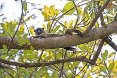 Marmoset observing me (Tambako the Jaguar) Tags: marmoset small monkey primate comfortable resting lying observing tree branch wildanimal wild wildlife nature pantanal matogrosso brazil nikon d5
