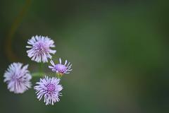 DSC_0184 (Kelson Souza) Tags: flores flor primavera campo silvestre florzinha flowers flower