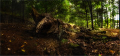 Fallen log panorama (ronnymariano) Tags: ortoneffect autumn hike directionallight deadtree plants nature flower harrimanpark city autumncolor panorama fall leaves light outside sun woods colors color tree path forest hiking afternoon outdoors green trees log landscape 2016 harriman newyork unitedstates us