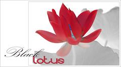 Black Lotus - Black-Lotus-69 (Bahman Farzad) Tags: black flower macro yoga poster design peace lotus relaxing peaceful meditation therapy lotusflower lotuspetal blacklotus lotuspetals lotusflowerpetals lotusflowerpetal