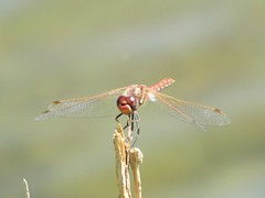 Floating around (U.S. Army Corps of Engineers Albuquerque District) Tags: insect dragonfly flyinginsect usace truchasnm usarmycorpsofengineersalbuquerquedistrict