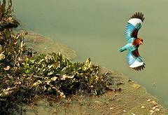 THE KING FISHER (TARIQ HAMEED SULEMANI) Tags: bird nature canon kingfisher tariq concordians sulemani thewonderfulworldofbirds