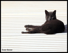 Black Cat on a Hot Tin Roof (Zachi Evenor) Tags: roof white black eye cat israel watching catus  felis  felissilvestriscatus silvestris   zachievenor