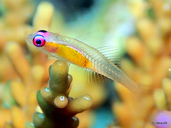 Redeye goby - Maldives (_takau99) Tags: trip travel fish macro topv111 pen topf50 topv555 topv333 underwater topv1111 topv999 topv444 january diving olympus topv222 explore scubadiving redeye topv777 maldives topv666 topf10 topv888 housereef goby topf60 topf20 2011 topf30 topf40 bryaninops natans eriyadu northmaleatoll takau99 penlite epl1 bryaninopsnatans redeyegoby gettyimagesjapanq1