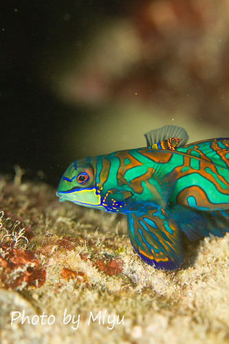 Face of mandarin fish