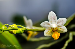 Phalaenopsis Mini Mark 'Holm'