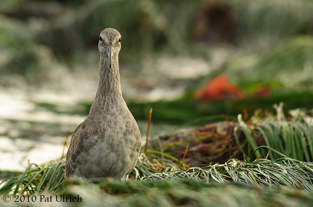 Curious Willet at Low Tide at Pillar Point - Pat Ulrich Wildlife Photography