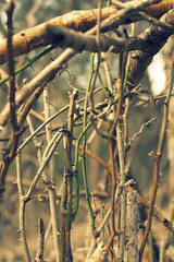 like vines we intertwined (Timothy Sunshine Fletcher) Tags: brown blur sanantonio contrast forest canon xpro crossprocessed xprocess vines woods focus dof bokeh crossprocessing thorns twigs colorcontrast thehushsound cs5 top20texas canoneost1i t1i canont1i northeastlakeview likevinesweintertwined
