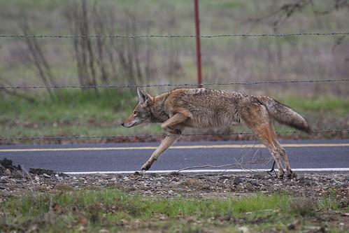 coyote dave harper oakley