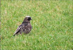 Rough-legged Buzzard (Ruud & Arianne NL) Tags: winter holland bird nikon nederland raptor gras buzzard nikkor arianne birdofprey vogel noordbrabant februari natuurgebied 2011 rosmalen agrarisch roofvogel grasland gebied rodelijst 70300vr d3000 wintergast ruigpootbuizerd rosmalenschehoeven rouglegged