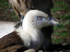 foto de perfil (Kelvariel) Tags: buitreleonado buitre carroero