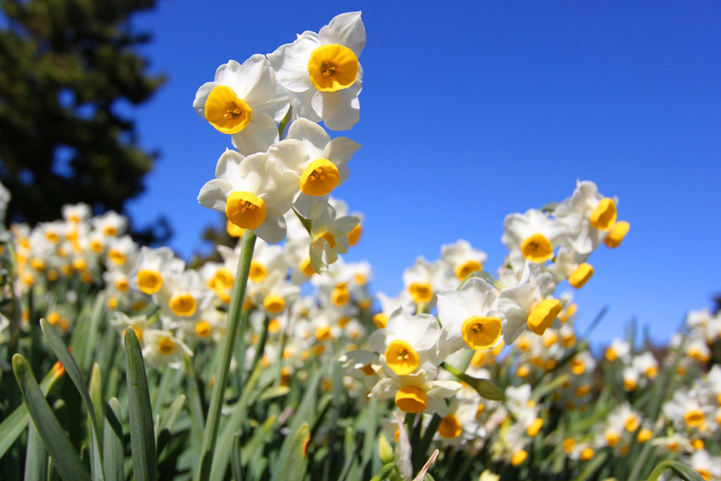 Kasai Rinkai Park Narcissus Festival (10)