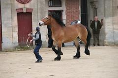Vente de chevaux de Trait Ardennais attels (Gypsy Cob) Tags: horses horse cheval each equine chevaux drafthorse ceffylau trait champagneardenne eich heavyhorse capall trekpaard chevaldetrait equinephotography ardennais zugpferd capaill kezeg equinephotographer montierender harasnational traitardennais harasnationaldemontier