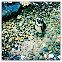 Lone Penguin (weaselfactory) Tags: animal penguin toycamera fauxlomo iphone paradisepark johnslens hipstamatic blankofilm