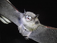 Little brown bat from Avery County with fungus on nose