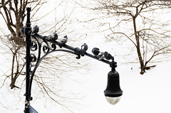 Birds on a Lamp Post (ralph and jenny) Tags: nyc newyorkcity vacation snow newyork weather birds animals hotel centralpark pigeon wildlife snowstorm snowing snowfall centralparksouth blizzard jumeirahessexhouse afvrzoom18200mmf3556gifed nikond7000