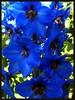 Royalty... (Canoecat) Tags: flowers blue home garden explore royalty delphiniums forphil theworldthroughmyeyes agradephoto edmontonalbertacanada july2010