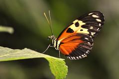 Mariposa  en Selva Viva (Heliconius hecale melicerta) (Weimar Meneses) Tags: selva viva