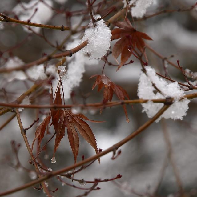 Kaede in winter