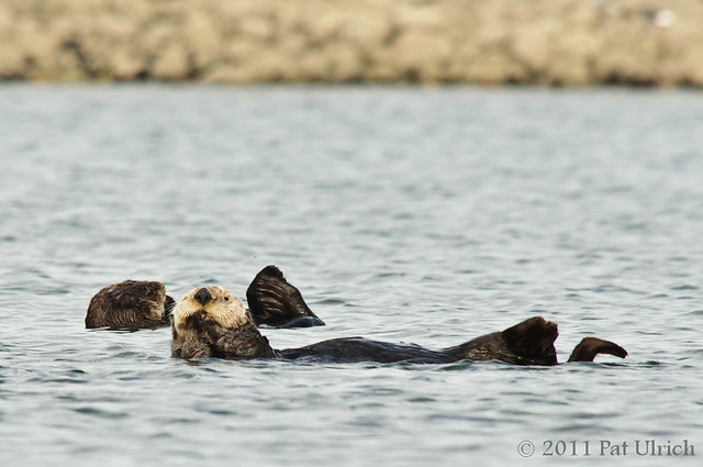 Relaxed southern sea otters - Pat Ulrich Wildlife Photography