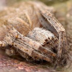 B6034 (Reynard Muldrake) Tags: macro 50mm spider gnome nikon d70 tubes extension reverse enlarger bellows ragno reverselens enlarging redii agalenatea tubidiprolunga