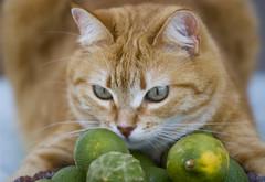 la padrona dei limoni (fla via) Tags: pet animal cat kitten gato felino katze arianna gatto katzen gatti mascota kater animali kats katt micio gattino nikond80 bestofcats