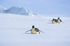 Emperor Penguins at Snow Hill Island, Eastern Antarctic Peninsula (Exodus Travels - Reset your compass) Tags: travel holiday travelling ice penguins travels holidays xx wildlife antarctica trips polar exodus emperorpenguins exodustravels snowhillisland kapitankhlebnikov easternpeninsula