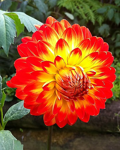 A favorite with her indoors #garden #flowers #dahlia