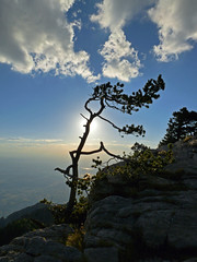 Sculptured by adversity (jimall) Tags: sunset sculpture copyright tree weather skies albuquerque crest gnarly windblown sandia sandiamountains copyrighted jimallebach jimall